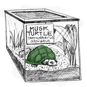 muskturtle-p32-300x298